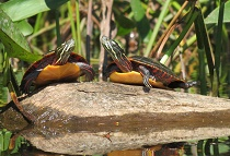Painted turtles - photo by Nancy Ohringer