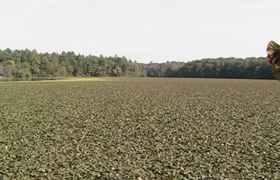 An impenetrable mat of water chestnuts on Pepperell Pond