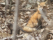 Red Fox mother and kit - photo by Applewild Upper School Head Erica Reynolds Hager