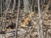 Fox kits at play with mother on watch - photos by Erica Reynolds Hager