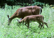 Deer and fawn by Helen Yetman-Bellows