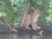 Bobcat by the Nashua River in Pepperell - photo from Andy Padla and Deb Taylor
